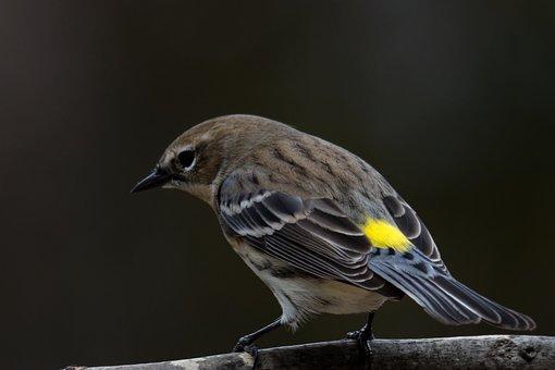 Yellow-rumped Warbler, Bird, Birding, Warbler, Wildlife