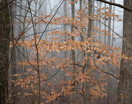Beech Tree, Winter, Beech, Plant, Nature, Foliage