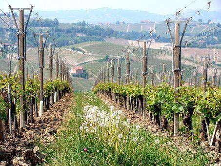 Winery, Tuscany, Piedmont, Agriculture, Vineyard