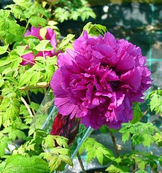 Flower, Peony, Flowering, Button, Spring, Garden, Field