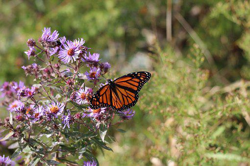 Monarch, Butterfly, Flower, Insect, Monarch Butterfly
