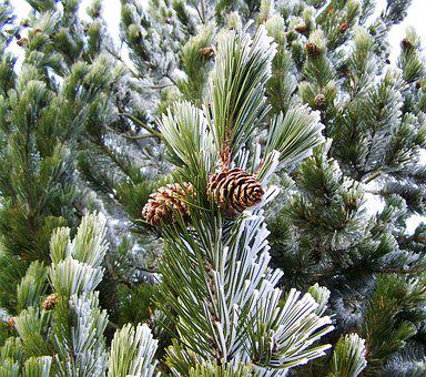 Frosted Pine Branches, Winter, Rime, Nature
