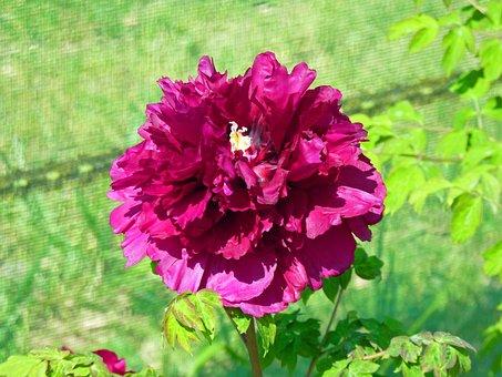 Flower, Peony, Flowering, Button, Spring, Garden, Pink