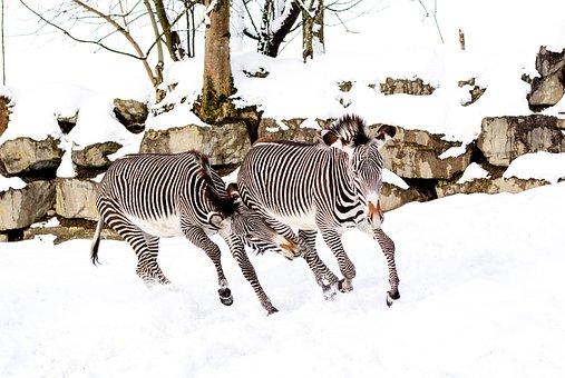 Zebras, Play, Snow, Zoo