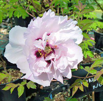 Flower, Peony, Flowering, Button, White, Pink, Garden