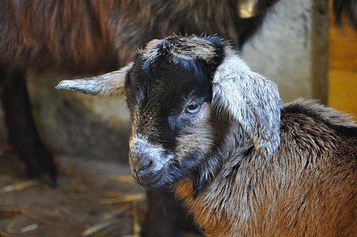 Gitzi, Goat, Head, Animal, Goat's Head, Domestic Goat