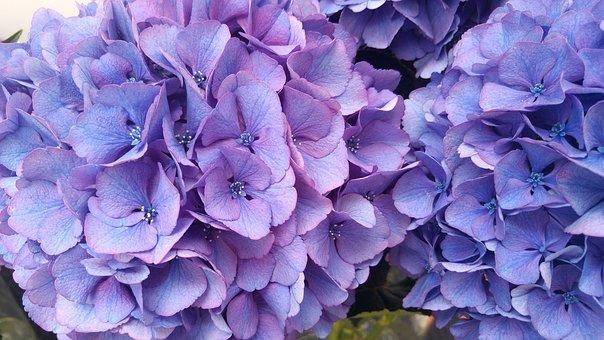 Hydrangea, Plant, Garden, Blue Petals, Flower