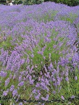 Lavender, Summer, Holiday, Purple, Violet, Nature