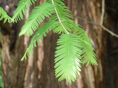 Sequoia, Leaves, Giant Redwood, Bark, Tree, Tribe