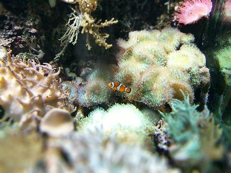Clown Fish, Hellabrunn, Zoo, Aquarium, Fishtank, Corals