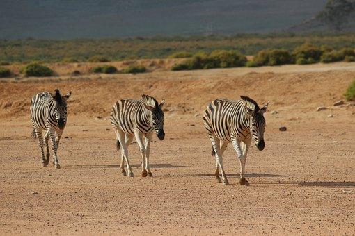 South Africa, Aquila Gaming Resort, Zebra, Wild Animals