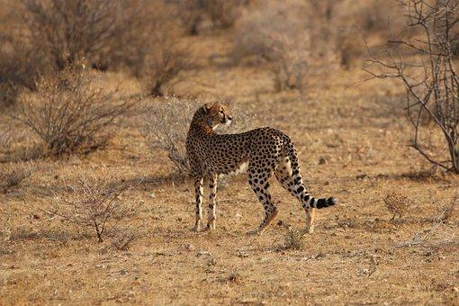 Jaguar, Africa, Nature