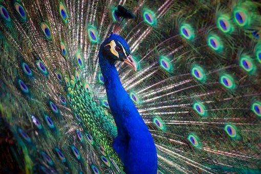 Peacock, Bird, Colors, Colorful, Beautiful, Outdoors