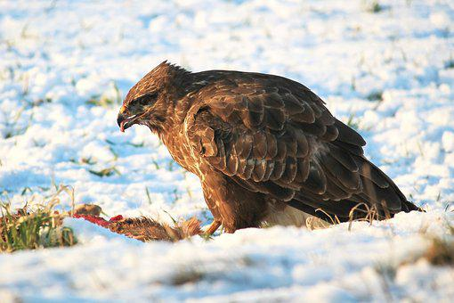 Buzzard, Bird Of Prey, Raptor, Carnivores, Bird, Eat