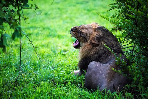 Lion, Male, Growl, Roar, Wildlife, Animal, Predator