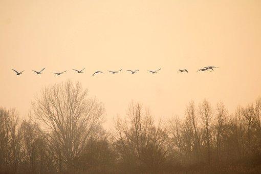 Birds, Swans, Fly, Landscape, Twilight, Sunrise, Canopy