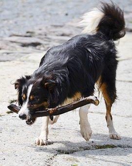 Border Collie, Dog, Sheepdog, Collie, Tricolour, Pet