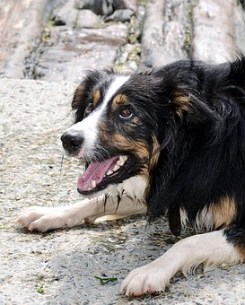 Border Collie, Dog, Sheepdog, Collie, Tricolour, Pet