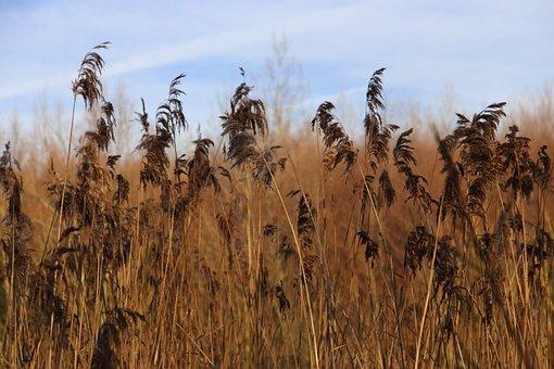 Reed, Bank, Nature, Lake, Plant, Pond, Lakeside, Winter