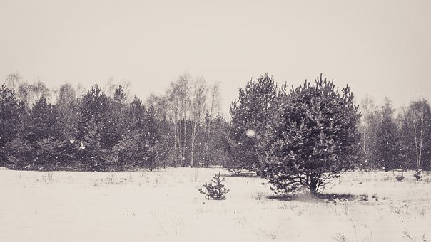 Forest, Winter, Pine, Tree, Snow, White