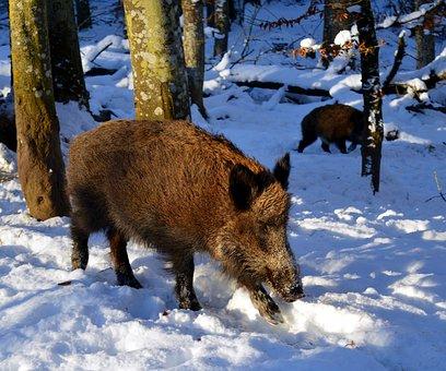 Boar, Pig, Sow, Mammal, Nature, Animal, Wild