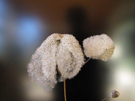 Seeds Was, Japan Anemone, Background Image