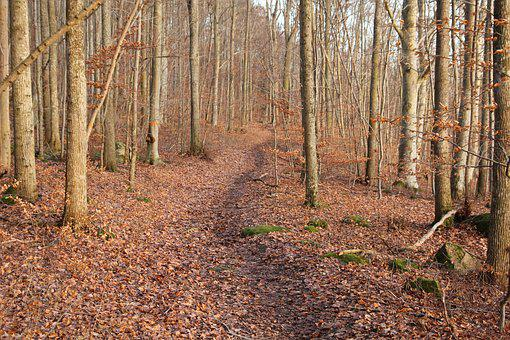 Beech Forest, Path, Forest, Tribes, Nature, Tree