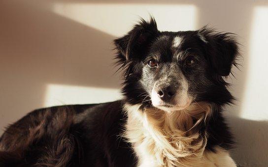 Dog, Border Collie, Pets, Portrait