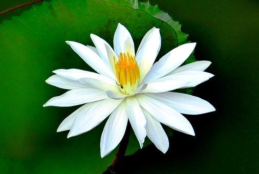 Water Lily, Flower, Aquatic Plant, Blossom, Bloom