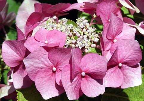 Hydrangea, Flower, Pink, Garden, Summer, Petal