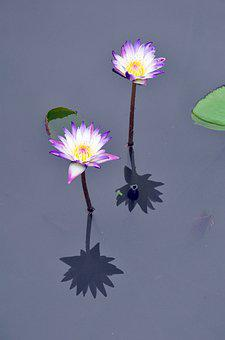 Lily, Water, Purple, Water Lily, Nature, Lotus, Pond