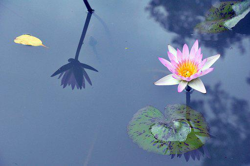 Water Lily, Lily, Purple, Water, Nature, Plant, Lotus