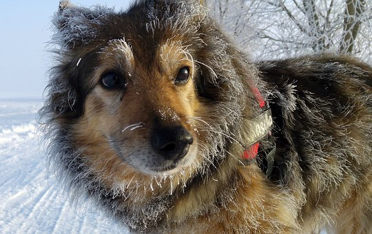 Dog, Mixed Breed Dog, Winter, Hoarfrost, Fur, Cute