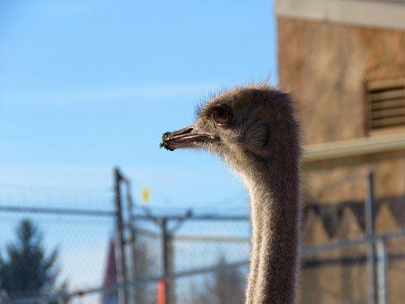 Ostrich, Bird, Zoo, Head, Closeup