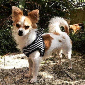 Chihuahua, Dog, Puppy, Animal, Canine