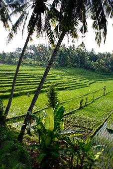 Rice Terrace, Tropics, Tropical, Exotic, Bali, Nature