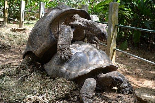 Aldabra, Tortoise, Giant, Animal, Reptile, Big, Island