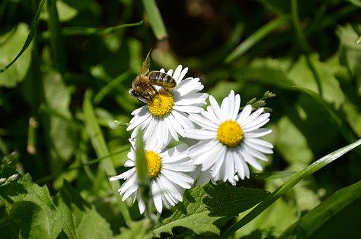 Marguerite, Bee, White Flowers, Forage, Pollinator