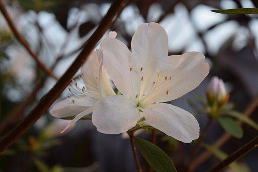 Azalea, White, Garden, Pistils, Flower, Nature