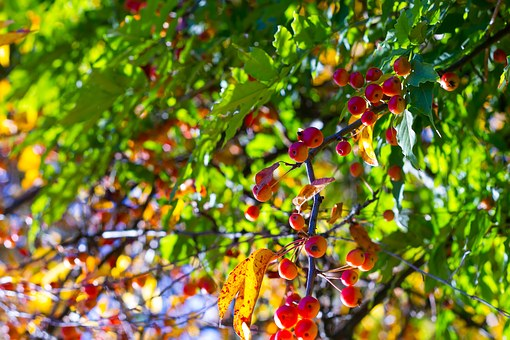Forest, Berries, Golden, Nature, Autumn, Berry Red