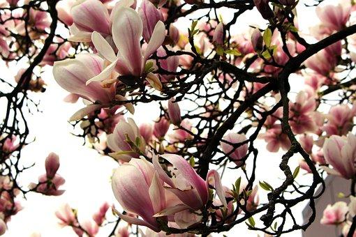 Magnolia, Magnolia Tree, Spring, Pink, Flowers, Blossom