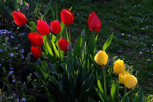 Tulips, Flowers, Tulip Sea, Sea Of Flowers, Blütenmeer
