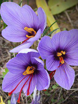 Saffron, Crocus Flower, Flowers, Beauty