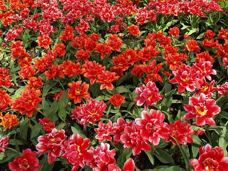 Tulips, Red, Flower, Spring, Flowers, Tulip Fields