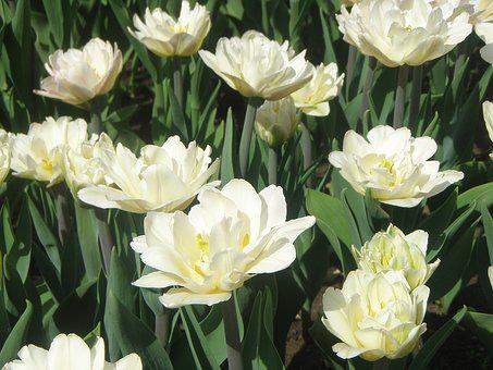 Tulips, Flowers, White, Flowers Of The Field, Glade