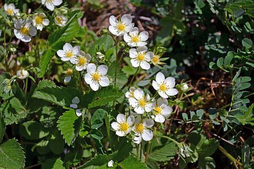 Blooming Wild Strawberries, Flowers, Wild Strawberries