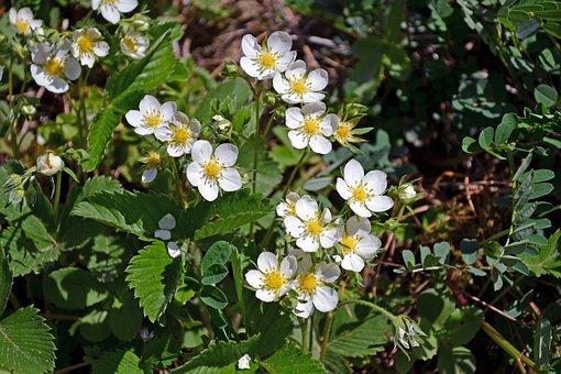 Blooming Wild Strawberries, Flowers, Wild Strawberries