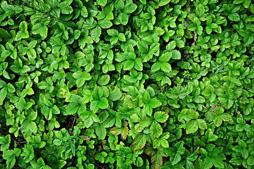 Wild Strawberry, Fragaria, Plant, Growth, Foliage
