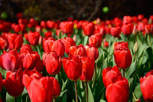 Tulip, Red, Green, Flower, Bloom, Blossom, Fresh, Field