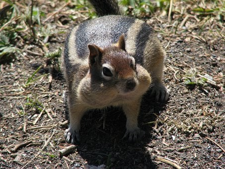 Yellowstone National Park, Ground Squirrel, Squirrel